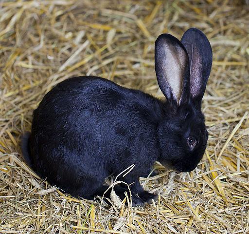 Conejo_común_(Oryctolagus_cuniculus),_Tierpark_Hellabrunn,_Múnich,_Alemania,_2012-06-17,_DD_01